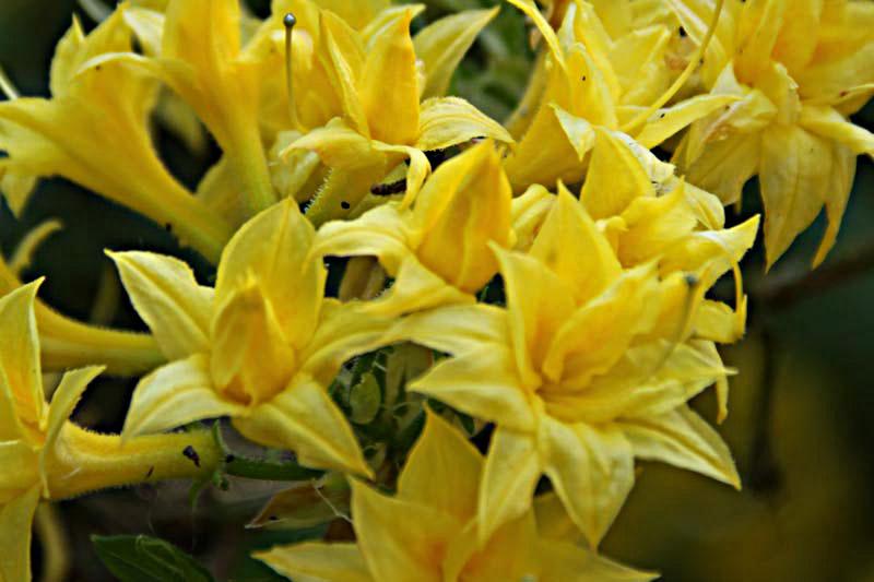 Azalea Narcissiflora von Piccoplant