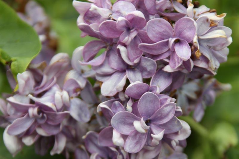 Syringa vulgaris Dobeles Sapnotajs von Piccoplant