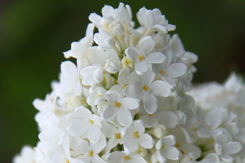 Syringa vulgaris Lebedushka von Piccoplant