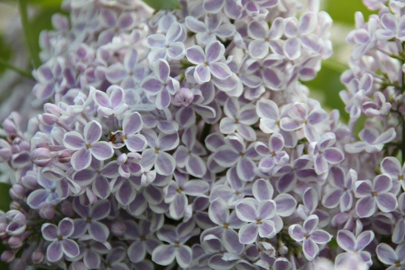 Syringa vulgaris Lila Wonder von Piccoplant