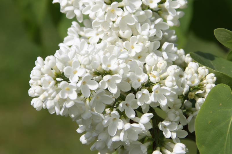 Syringa vulgaris Madame Florent Stepman von Piccoplant