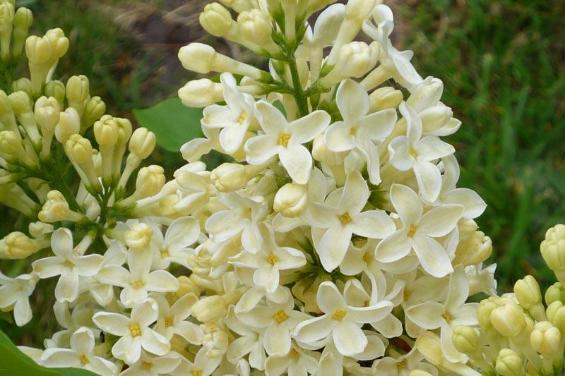Syringa vulgaris Primrose von Piccoplant