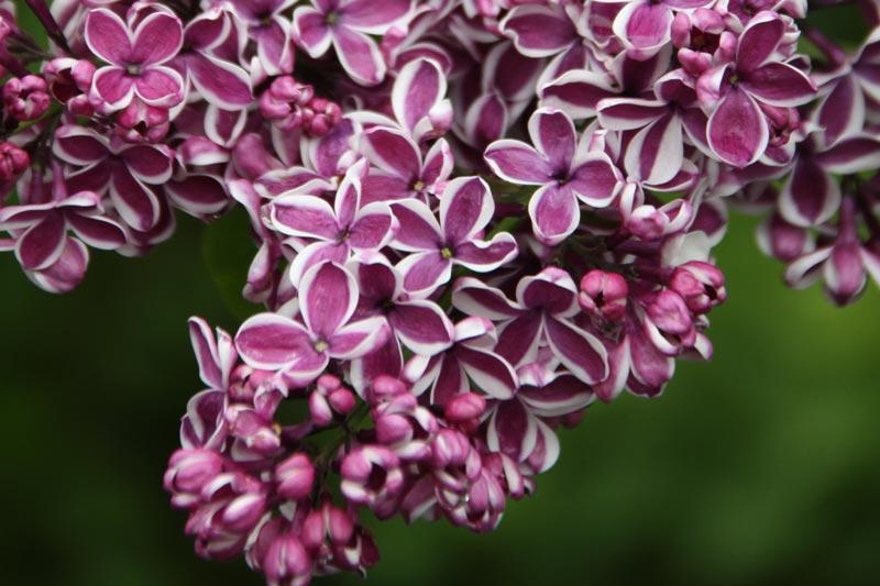 Syringa vulgaris Sensation von Piccoplant